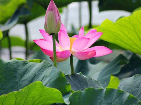 Mơ thấy hoa sen có ý nghĩa gì?